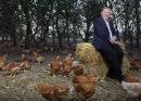 Összeomolhat az EU-csirkepiaca